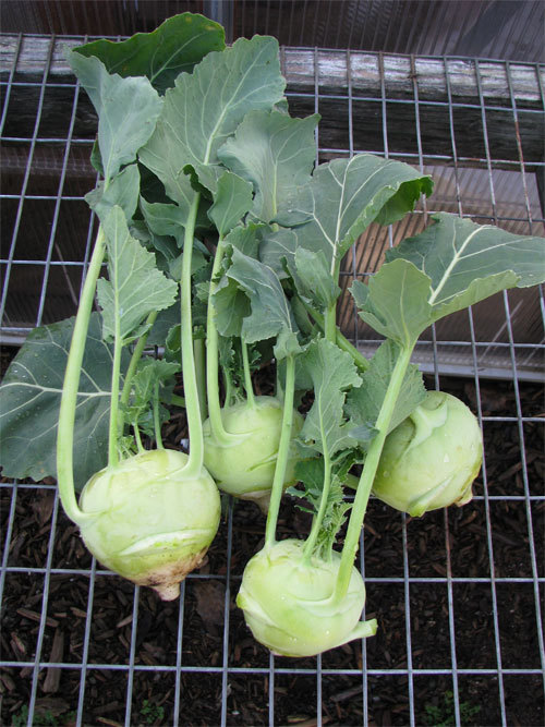 Love Apple Farms Kohlrabi A Kick Ass Winter Veggie