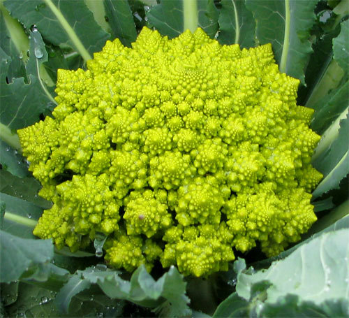 Romanescobroccoli