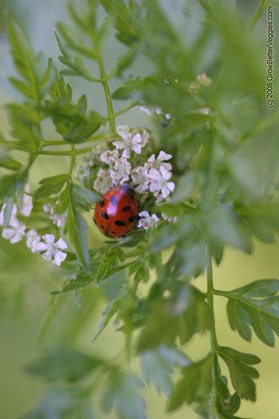 Ladybug_on_herb